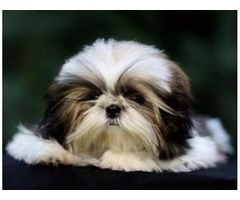 Cute Shih Tzu Puppies Available Now