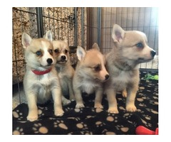 lovely husky puppies