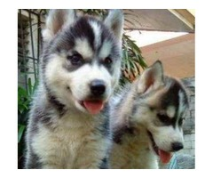Pure Breed Siberian Husky Puppies-Available-Now