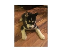 Siberian Husky puppies for a happy home