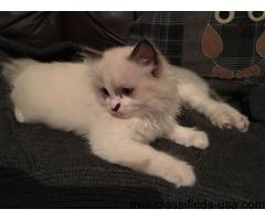 Gccf Reg Bi-colour Kittens