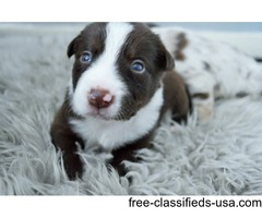 Stunning Border Collie Puppies With Blue Eyes