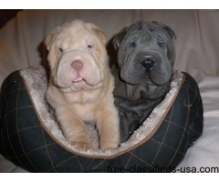 Cream Blue Apricot And Black Kc Reg Shar Pei Pups