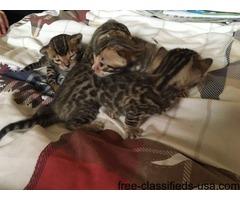 4x Beautiful Pedigree Bengals For Sale Ready Now