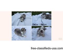 6 Husky Puppies