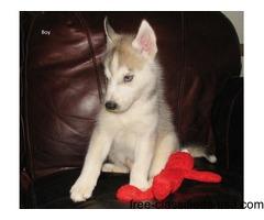 Siberian Husky/Alaskan Malamute NBC puppy