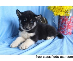 molly - female aca husky
