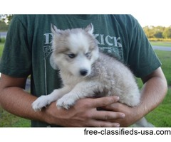 AKC Siberian Husky Puppy, paper trained
