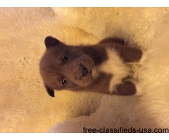 Akc rare dark chocolate Siberian huskys | free-classifieds-usa.com
