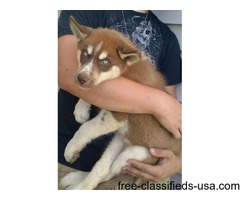 Blue eyed Siberian Husky pup available.