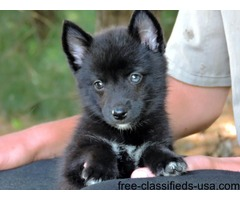 AKC husky puppies due This October