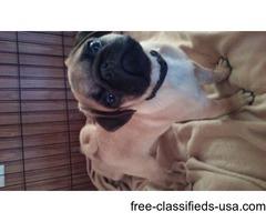 AKC Pug Puppy champion bloodlines