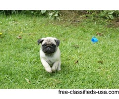 Two remaining Pug puppies - ready in October