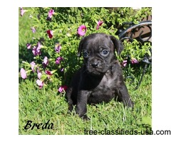 pug x bulldog male pup