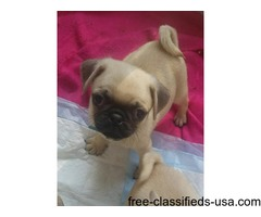 Outstanding Fawn Male Pug Puppy