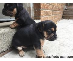 puggle pups 2nd generation