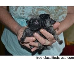 ckc silver fawn pug puppies