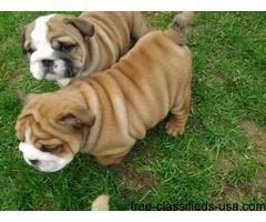 12 Weeks old English Bulldog Puppy