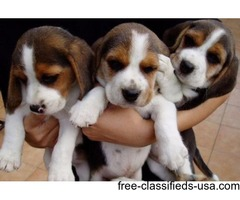 Beagle Puppies Ready to go home now