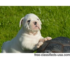 Babies English Bull dog puppies for sale