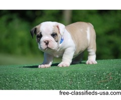 Talented English Bulldogs for Rehoming