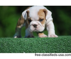 Super Adorable English Bulldog Puppies