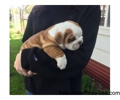Adorable male and female English Bulldog Puppies