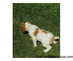 Cute 	Brittany Puppies For Sale