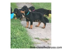 Doberman Pinscher Puppies Ready Now!!