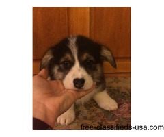 Stunning Pembroke Welsh Corgi Puppies For Sale