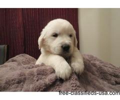 Amazing Golden Retriever Pups Ready!!