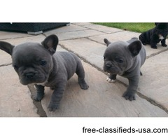 Outstanding AKC registered French Bulldog Pups