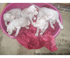Superb Litter Weimaraner Puppies!