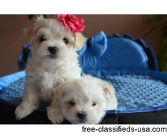 2  males and females puppies.  maltese puppies