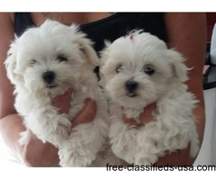Top quality Male and Female Maltese puppies
