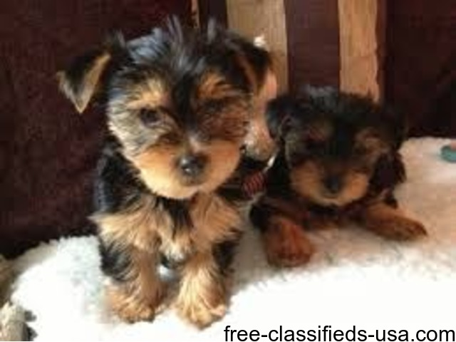 male and female teacup YORKIE PUPPIES | free-classifieds-usa.com