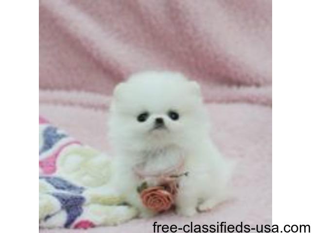 Akc Teacup Pomeranian Puppies Animals Houston Texas