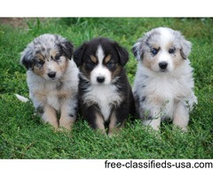 Australian shepherd puppies Available  Male and Female