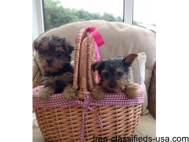 eacup yorkie puppies,   free-classifieds-usa.com