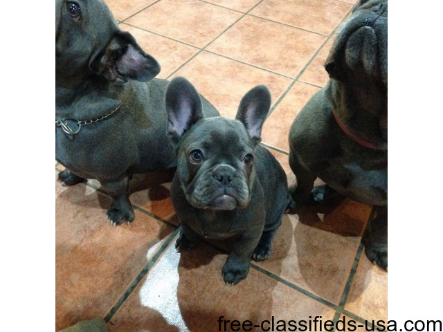 Family Reared French Bulldog Puppies Animals Chicago Illinois