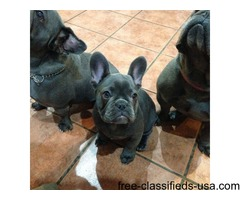 Family Reared French Bulldog puppies