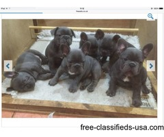 Blue Gene Carrier French Bulldog Puppies