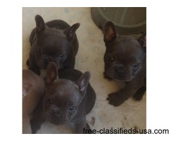 Obedient French Bulldog puppies with accessories