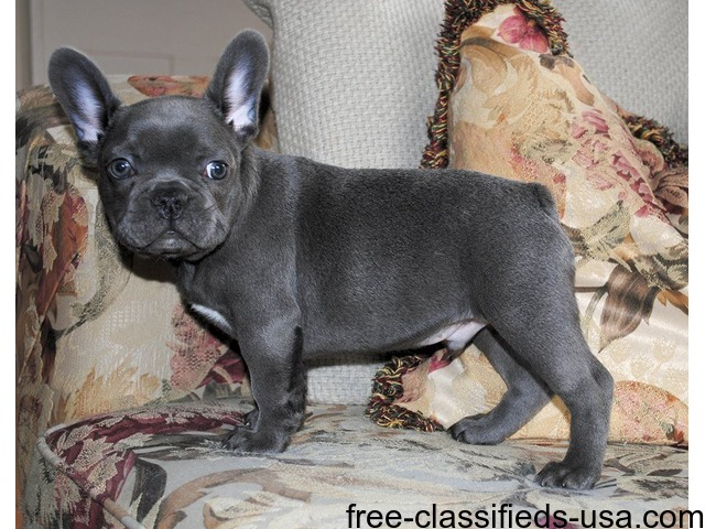 french bulldog puppies charlotte nc perros basic trained french bulldog puppies animals charlotte 7168
