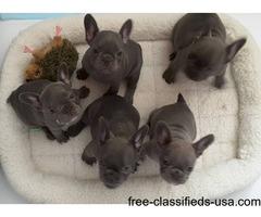 Beautiful Pedigree French Bulldog puppies