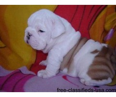 AKC REGISTERED HOME TRAINED ENGLISH BULL DOG PUPPIES.