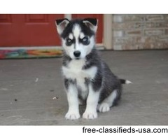 Both males and females Quality Siberian Huskies Puppies