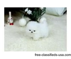 Top Quality Pomeranian Pups ready for new homes