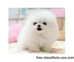 2 Cute Ready To Go Pomeranian Pups For Cuties