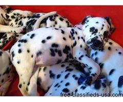 *kedechlo* Kc Reg Dalmatian Puppies Born 14th Sept